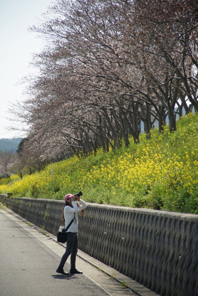 金田駅近く 桜