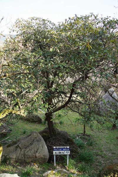 神宮院 石割ビワ