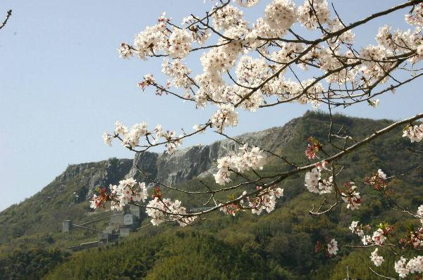 香春岳と桜