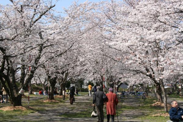 丸山公園花まつり-600