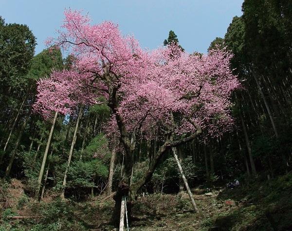 春:虎尾桜