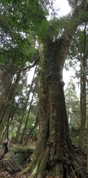 17タブの大木写真