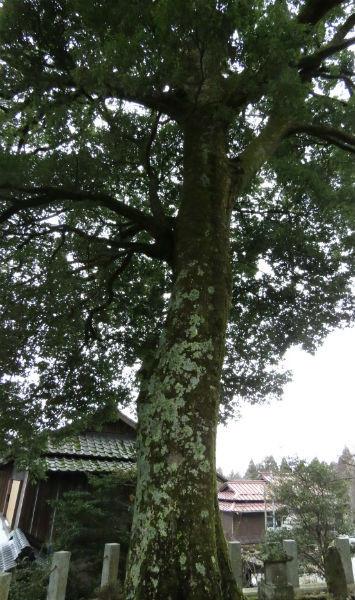 23ウラジロガシの大木写真