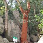 バクチの木