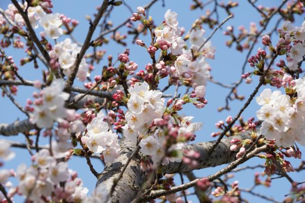 金田駅 桜