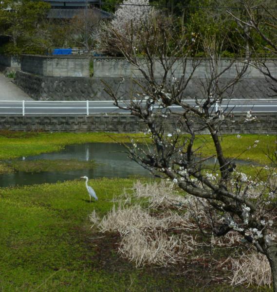 池のアオサギA