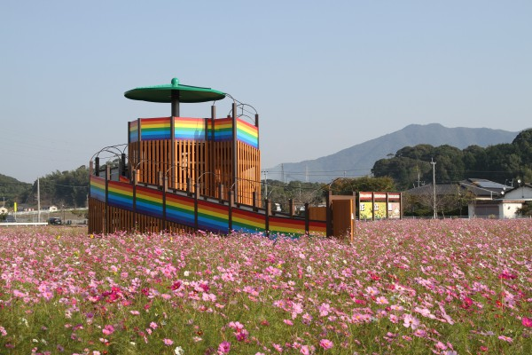 花公園 コスモス